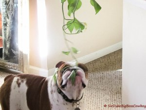 Duke and the Plant