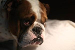Bulldog Look